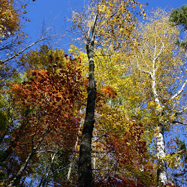 Fall Color 2 by Kathy Kehl - Nature Up Close Trees & Bushes ( red, tree, blue, blue skies, trees, yellow )