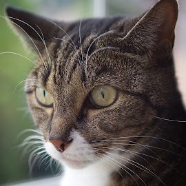 Poppy by Martin Arscott - Animals - Cats Portraits ( cat, poppy, portrait, animal )