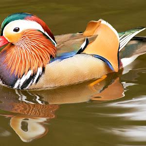mandrin duck.jpg