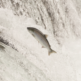 Salmon leaping Brooks Falls in white water by Nick Dale - Animals Fish ( water, grizzly, bear, animals, fish, waterfall, alaska, brooks falls, wildlife, brooks camp, katmai, brown bear, predator, falls, salmon, fishing, catching, grizzly bear, river )