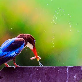 Hungry! by Terence Lim - Animals Birds ( bird, kingfisher, eating )