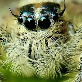 Jumping Spider by Willy Widarma - Instagram & Mobile Android (  )