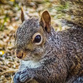 Close Up Squirrel 2 by Pat Lasley - Animals Other Mammals ( mammals, nature, wildlife, portrait, squirrel )