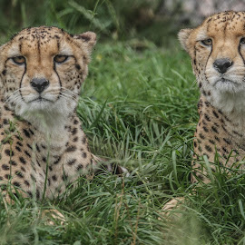 Cheetah pair by Garry Chisholm - Animals Lions, Tigers & Big Cats ( garry chisholm, cheetah, cat, nature, wildlife )