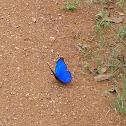 Blue Morpho ♂