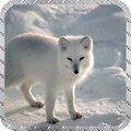 Polar Fox Wallpaper APK for Ubuntu