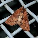 Serrated Crest-moth