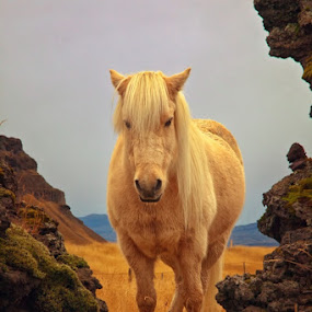 Icelandic Horse by Tim Vollmer - Animals Horses ( clouds, iceland, mountain, sky, grass, icelandic horse, autumn, lava, moss, lava field )