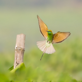 Spread your wings and feel like a king... by Chandra Mouli Roy Chowdhury - Animals Birds