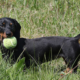 Little Frankie by Chrissie Barrow - Animals - Dogs Playing ( playing, ball, smooth, grass, pet, fur, ears, dachshund (miniature smooth), legs, dog, tail, tan, black )