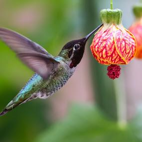 Male Anna by Jim Malone - Animals Birds