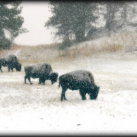 Boys Trio by Michele Richter - Animals Other ( custer state park, south dakota, mrichterphotos )