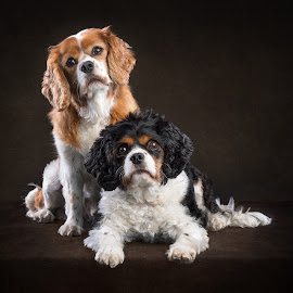2 King Charles by Linda Johnstone - Animals - Dogs Portraits ( pet photography, dogs, small dogs, fluffy dogs, dark background )