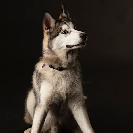 Nanook by Anthony Wood - Animals - Dogs Portraits ( malamute, husky, portraite, wolf, studio animal, dog )