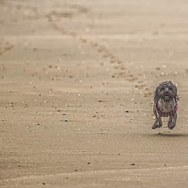 It's a long run for a little dog by Brent Morris - Animals - Dogs Running ( playing, footprints, sand, beach, motion, dog, running )