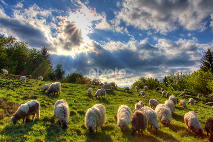 A flock of sheep going home by Stanislav Horacek - Landscapes Prairies, Meadows & Fields
