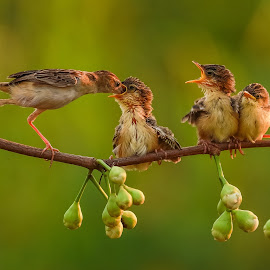 Mother's care by Bernard Tjandra - Animals Birds