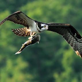 Osprey by Mircea Costina - Animals Birds ( mirceax, bird, wild, eagle, fish, pandion haliaetus, wildlife, fishing, osprey )