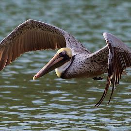 by Steven Aicinena - Animals Birds ( flight, brown pelican )
