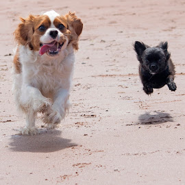 Misty & Bobby by Andy Dell - Animals - Dogs Running ( beaches, dogs, dogs playing, dogs running, beach, cute dog,  )