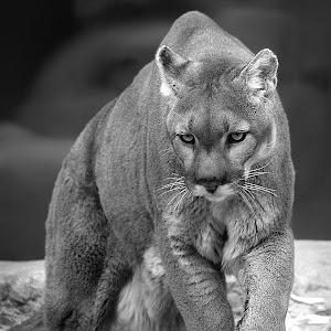 Mountain Lion Prowl Final bw.jpg