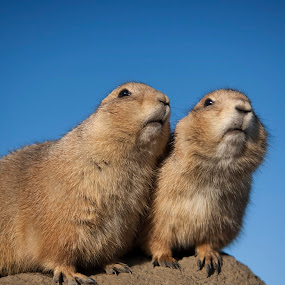 A pair of prairie dogs by Leticia Cox - Animals Other ( animals, wildlife, nikon, rodents,  )