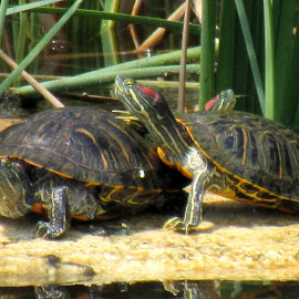 Red eared sliders by Scott Thomas - Animals Amphibians ( #nature, #turtles, #slider, #red, #water )