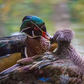 kissing birds by Antonin de Bertimbrie - Animals Birds ( love, kissing, colorful, duck, birds )