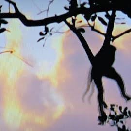 Swinging! by Linda McCormick - Animals Other Mammals ( nature, forest, dusk, monkey, animal )