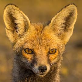 Desert Fox by Sudhir Nambiar - Animals Other Mammals