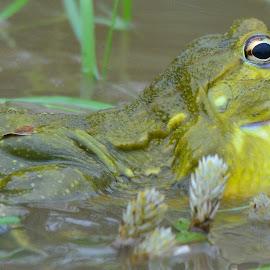 Bullfrog by Diane Rogers Jones - Novices Only Wildlife