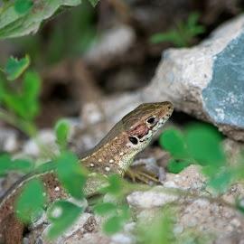 Green lizard by Ioana Cristina - Animals Reptiles ( wild, reptiles, lizard, nature, green, wildlife, juvenile, herping )