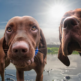by Anthony Wood - Animals - Dogs Playing ( red, dogs, vizsla, hungarian )