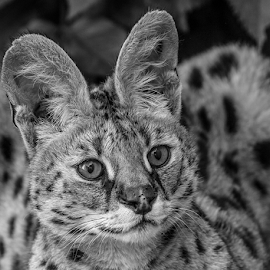 Serval by Garry Chisholm - Black & White Animals ( cat, serval, nature, garrychisholm, feline )