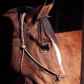 Portrait by Michelle du Plooy - Animals Horses ( colour, equine, color, bay, shadow, horse, clydesdale, brown, gelding, portrait, thorouughbred, equestrian, animal )