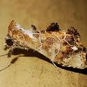 Hypeninae