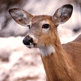 Soft Stare by Sue Delia - Animals Other ( whitetail, deer,  )