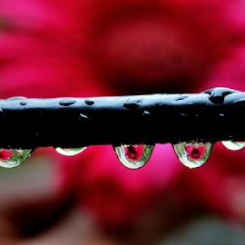Drops by Premkumar Antony - Nature Up Close Natural Waterdrops
