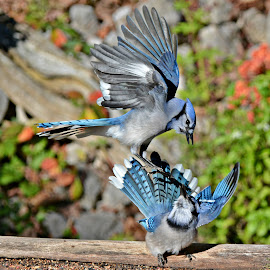 the Jays by Isabelle VM - Animals Birds ( bird, bluejay )