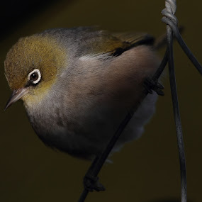 Bird on a wire by Geoff Soper - Animals Birds ( bird, contrast, silvereye, feathers, waxeye )
