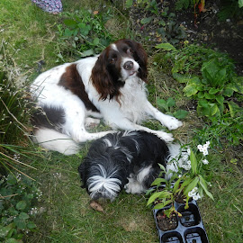 The Old and the Young by Angie Keverne - Novices Only Pets ( old, shih tzu, dog, garden, young )
