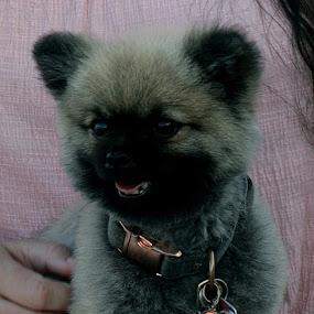 Pomeranian Pup by Mike Zegelien - Animals - Dogs Puppies ( dog portrait, puppy, dog, pomeranian, animal )