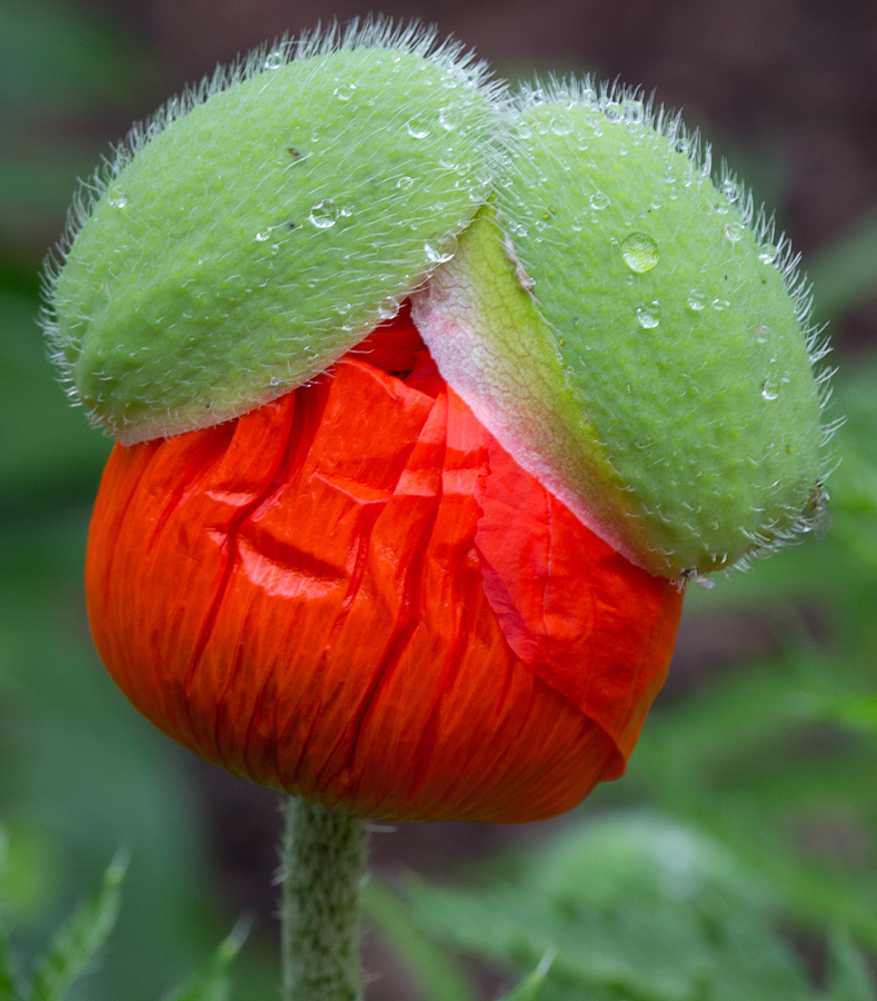 Poppy Hairdo by Andrew Boyd - Nature Up Close Other plants