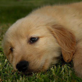 Golden puppy by Cristobal Garciaferro Rubio - Animals - Dogs Puppies ( retriever, puppies, puppy, dog, golden, golden retriever )