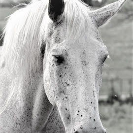 In Contemplation  by Linda    L Tatler - Black & White Animals ( horse, gelding, flea bitten, farm, pet, equine )