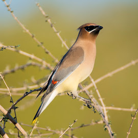 Cedar Waxwing by Sandy Hurwitz - Animals Birds
