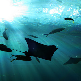 Ray by Bill Bettilyon - Animals Fish ( ray, underwater, fish )