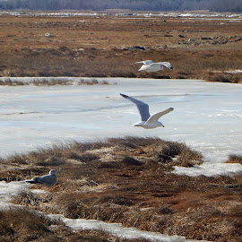Gulls Fly over the Marsh by Kristine Nicholas - Novices Only Wildlife ( marshes, sea gull, winter, ice, birds, birding, water fowl, seagull, wetlands, seagulls, grasses, snow, bird photography, grass, bird, flying, sea bird, marsh, wildlife,  )