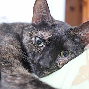 Sleepy Kitty by Mallory Walsh-Ruggiero - Animals - Cats Portraits