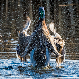 Mallard Conductor by Keith Sutherland - Nature Up Close Natural Waterdrops ( duck, malard )